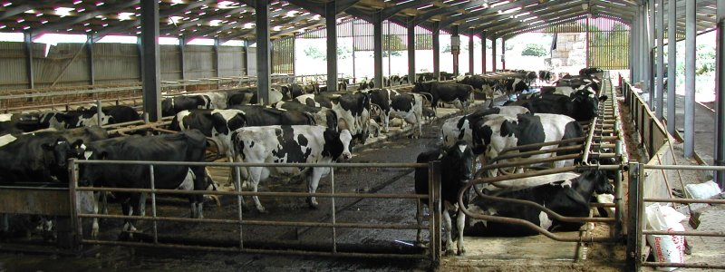 The main cow shed